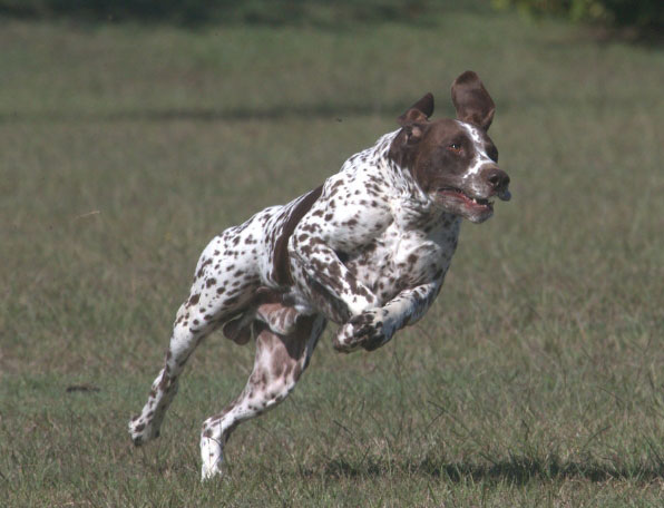 Dog Lure Coursing